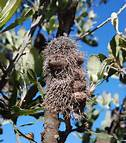 eponymously named Banksia